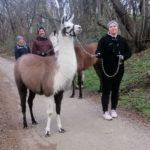 Vier Beine, Fell und ein Halfter - nein, keine vermurksten Pferde, sondern Lamas