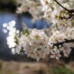 Geniales Morgenlicht - da beeindrucken sogar einfache weiße Blüten